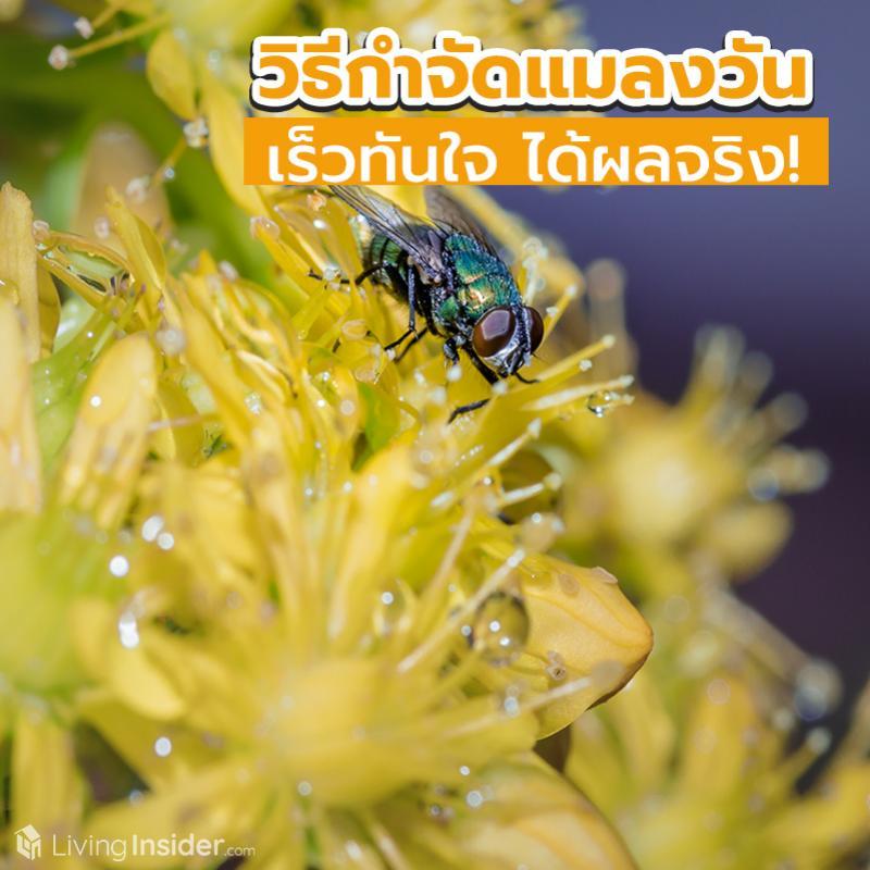 วิธีกำจัดแมลงวันออกจากบ้าน เร็วทันใจ ได้ผลจริง!