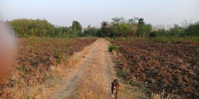 For SaleLandSukhothai : Land for sale at Ban Nam Rawi, Thung Saliam District, Sukhothai Province, 56 rai, sold 15 million