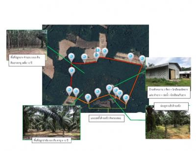 For SaleLandPhangnga : Sell at rubber and palm plantations