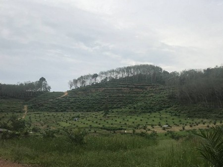 For SaleLandRanong : Sell rubber plantation and palm plantation in Ranong Province, the owner sells by himself