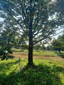 For SaleLandTrat : AE64059 ขายสวนทุเรียนกับมังคุด เหมายกสวน คนงานพร้อม วิวสวย อำเภอเขาสมิง จังหวัดตราด เนื้อที่ 27 ไร่