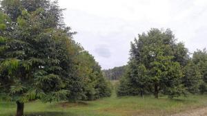 ขายที่ดินจันทบุรี : AE64057 ขายสวนทุเรียน พร้อมบ้านสวน เนื้อที่ 44 ไร่ พร้อมเก็บเกี่ยว ต.ตกพรม อ.ขลุง จันทบุรี