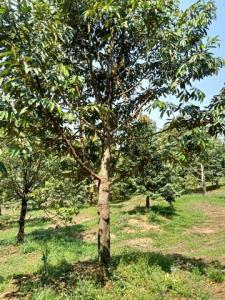 ขายที่ดินตราด : AE64061 ขายสวนทุเรียนหมอนทอง เหมายกสวน 1000 กว่าต้น พร้อมสระนํ้าใหญ่ อ.บ่อไร่ ตราด จำนวน 48 ไร่