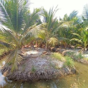 ขายที่ดินมหาชัย สมุทรสาคร : ขายที่ดิน สวนมะพร้าว 11-3-10 ไร่ บ้านแพ้ว สมุทรสาคร