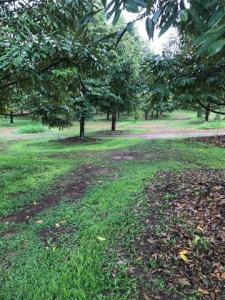 For SaleLandChanthaburi : AE64114 Selling a raised Monthong durian plantation, area 95 rai, adjacent to Khlong Yai, Thung Bencha, Chanthaburi