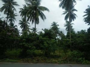 For SaleLandHua Hin, Prachuap Khiri Khan, Pran Buri : Land for sale in coconut plantation.