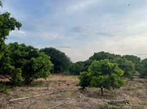 For SaleLandLamphun : Land for sale in Longan plantation, over 10 rai, Wiang Nong Long, Lamphun, good price.