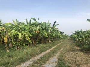 For SaleLandNakhon Pathom, Phutthamonthon, Salaya : Land for Wang Ta Ku, Nakhon Pathom Province, 7 rai 0 ngan 66.6 sq m.
