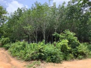 For SaleLandMukdahan : Rubber plantation plot with more than 16 rai of slitting