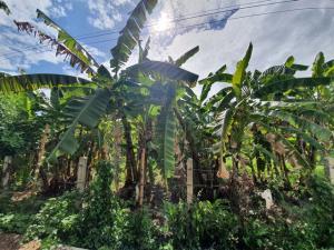 ขายที่ดินพะเยา : ขายที่ดิน 1-2-88 ไร่ เหมาะอยู่อาศัยหรือทำเกษตร ซอยบ้านป่ากว๋าว ใกล้วัดศรีบุญเรือง แม่ปืม พะเยา