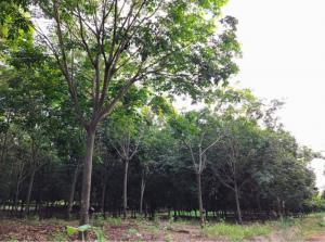 For SaleLandKanchanaburi : Rubber plantation 18 rai 9,000,000