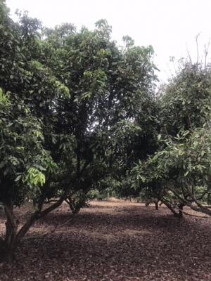 For SaleLandChiang Rai : Land for sale with house + longan garden Chiang Rai Province 2 rai 26 sq m.