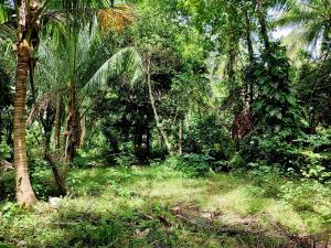 ขายที่ดินสมุย สุราษฎร์ธานี : ขายที่ดินเงียบสงบสวนมะพร้าวเกาะพะงัน