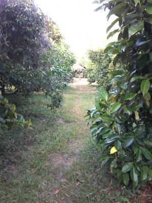 For SaleLandRayong : ขายที่ดินสวนผลไม้ อ.เมืองจ.ระยอง 15-2-24 ไร่ พร้อมผลไม้กว่า400ต้น