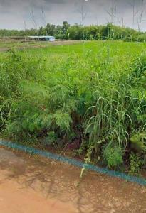 For SaleLandRangsit, Patumtani : ขายที่ดิน200 ตรว ถมแล้ว คลองสาม คลองหลวง